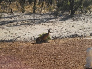 Check out the kangaroos in the backyard