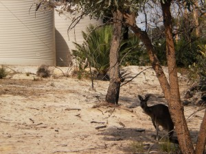 Check out the kangaroo near the water tank